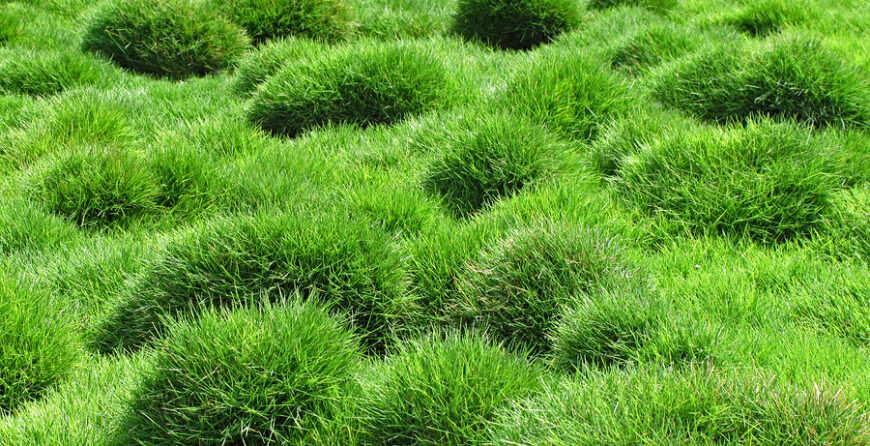 What You Need To Know About Zoysia Grass